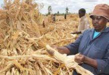 A maize farmer in Kenya. Farmers will now sell their maize to the National Cereals and Produce Board at a price of Kshs 2,300 per a 90kg maize bag
