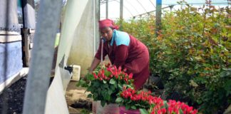 Red roses- A flower farm in Kenya.