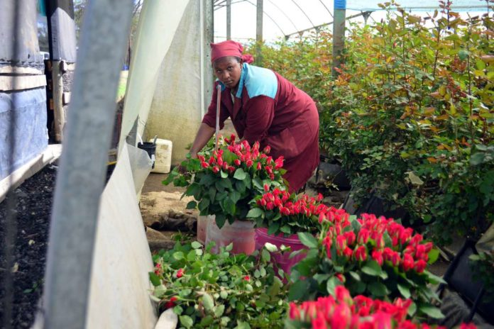Red roses- A flower farm in Kenya.